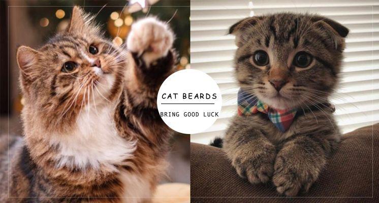 撿到貓鬍鬚千萬別丟!原來貓鬍鬚還能「招財」、「招桃花」,年底脫單、發財就靠貓主子啦!